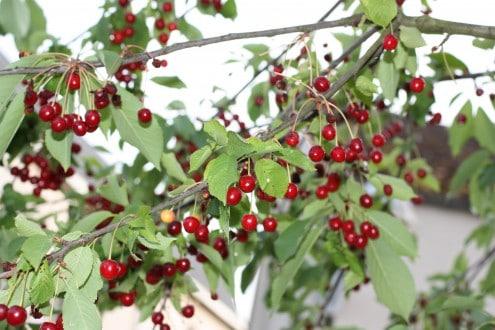 Cherry Tree France